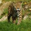 Impressive: the South American Jaguar.