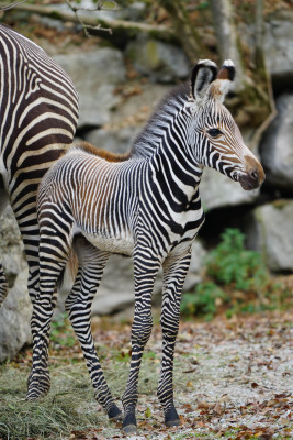 Endangered animal species are successfully bred in the Salzburg Zoo: The very first Grevy Zebra foal was born in October 2018.