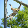 In full swing and action: A white-handed gibbon at Tierpark Berlin.