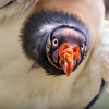 And it is like: Hi there! Picture of a king vulture at Tierpark Berlin.