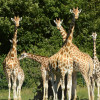 How's the weather up there, lovely giraffes?