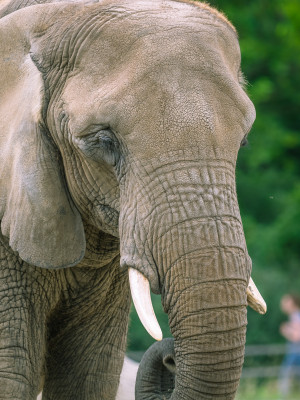 Some of the prettiest animals in the world: The Tierpark Berlin is home to African elephants.
