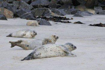 Am Nordstrand genießen auch Seehunde die Sonne
