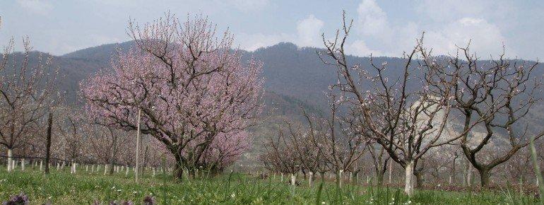 Donau Niederösterreich Niederösterreich Marillen- und Pfirsichblüte in der Wachau