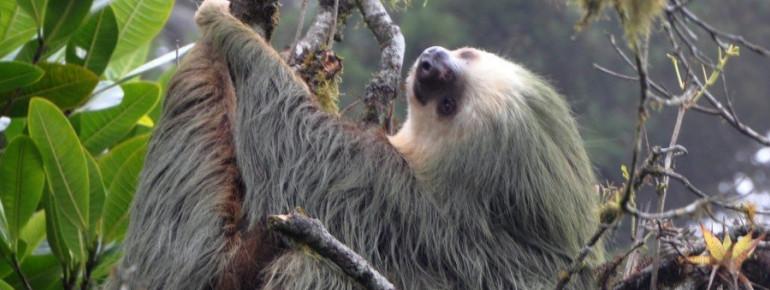 Zu den Bewohnern des Tortuguero Nationalparks gehören auch Faultiere.