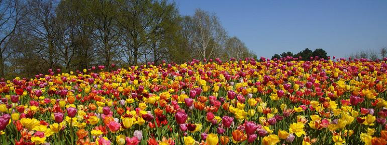 Tulpen - Dafür sind die Niederlande weltbekannt