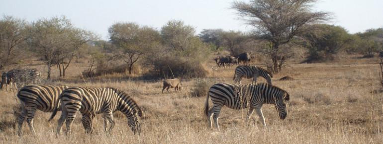 Im Kruger Nationalpark kann man wilde Tiere beobachten.